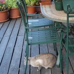 A cat on a pool deck near a table and pool deck plants.